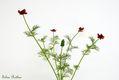 Bild zu Adonis aestivalis - Adonisröschen