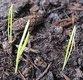 Keimling zu Allium schoenoprasum - Schnittlauch