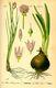 Bild zu Allium schoenoprasum - Schnittlauch