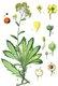 Bild zu Alyssum saxatile L. - gelbes Steinkraut