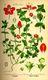 Bild zu Anagallis arvensis - Acker-Gauchheil
