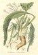 Bild zu Armoracia rusticana - Meerrettich
