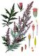 Bild zu Artemisia vulgaris - Gemeiner Beifuss