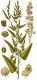 Bild zu Atriplex hortensis - Gartenmelde