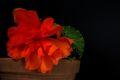 Bild zu Begonia tuberhybrida - Knollenbegonie