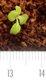Keimling zu Bellis perennis - Gänseblümchen