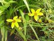 Bild zu Bidens ferulifolia - Fenchelblättriger Zweizahn