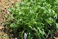 Bild zu Brassica rapa subsp. nipposinica - japanischer Salat
