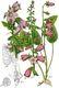 Bild zu Campanula rapunculoides - Acker-Glockenblume