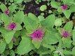 Bild zu Chenopodium giganteum - Baumspinat