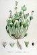 Bild zu Claytonia perfoliata - Winterportulak