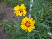 Bild zu Coreopsis grandiflora - Mädchenauge