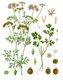 Bild zu Coriandrum sativum - echter Koriander