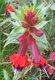 Bild zu Cuphea llavea - Mickymaus-Pflanze