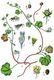 Bild zu Cymbalaria muralis - Zimbelkraut