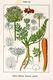 Bild zu Daucus carota carota - Wilde Möhre