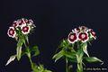 Bild zu Dianthus barbatus - Bartnelke