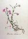 Bild zu Dianthus deltoides - Heidenelke