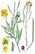 Bild zu Diplotaxis tenuifolia - Rucola