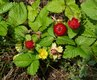 Bild zu Potentilla indica - Scheinerdbeere