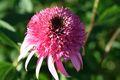 Bild zu Echinacea purpurea - Purpur-Sonnenhut