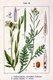 Bild zu Eruca vesicaria subsp. sativa - Garten-Senfrauke (Rucola)