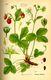 Bild zu Fragaria vesca - Wald-Erdbeere