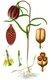 Bild zu Fritillaria meleagris - Schachbrettblume