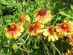 Bild zu Gaillardia aristata - Präriekokardenblume