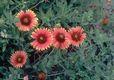 Bild zu Gaillardia pulchella - Kokardenblume