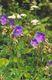 Bild zu Geranium pratense L. - Wiesen-Storchschnabel