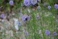 Bild zu Gilia achilleifolia - Gilia achilleifolia