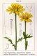 Bild zu Glebionis coronaria - Speisechrysantheme
