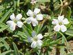 Bild zu Gypsophila repens - Kriechendes Gipskraut