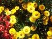 Bild zu Helichrysum bracteatum - Garten-Strohblume