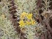 Bild zu Helichrysum italicum - Currykraut