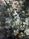 Bild zu Helichrysum petiolare - Lakritz-Strohblume