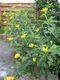 Bild zu Heliopsis helianthoides - Garten-Sonnenauge