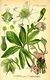 Bild zu Helleborus niger - Christrose