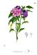 Bild zu Hibiscus syriacus - Hibiskus