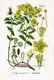 Bild zu Hypericum perforatum - Johanniskraut