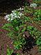 Bild zu Iberis amara - bittere Schleifenblume