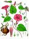 Bild zu Ipomoea purpurea - Purpur-Prunkwinde