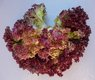 Bild zu Lactuca sativa var. acephala - Pflücksalat