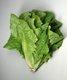 Bild zu Lactuca sativa var. longifolia - Lattich