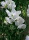 Bild zu Lathyrus odoratus - Duftwicke