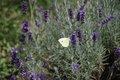 Bild zu Lavandula angustifolia - echter Lavendel