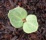 Keimling zu Lavatera trimestris - Bechermalve
