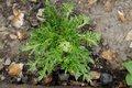 Bild zu Lepidium meyenii - Maca