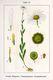 Bild zu Leucanthemum vulgare Lam. - Wiesenmargerite